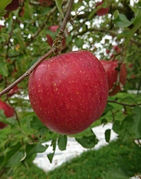 訳あり ふるさと納税 リンゴ 三関りんご3kg満杯詰め